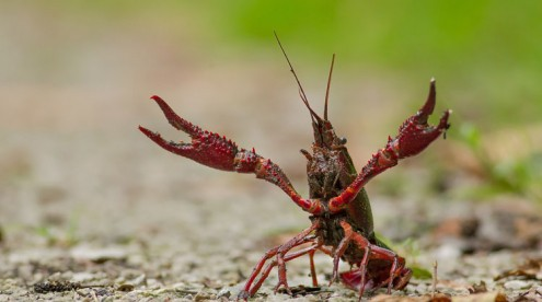 colourful creatures, the crayfish