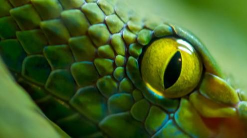 Eye of a snake